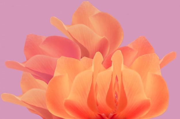 Fundo de cyclamen persicum, uma espécie de primulaceae Foto Premium