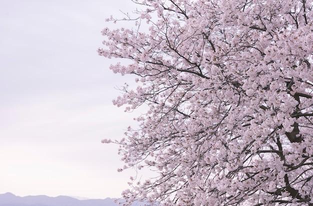 Fundo de flor de cerejeira sakura iminente na primavera Foto Premium