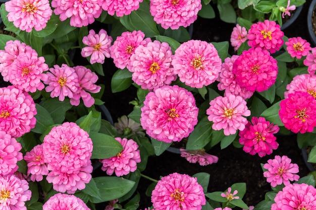 Fundo de flores zinnia rosa linda Foto Premium