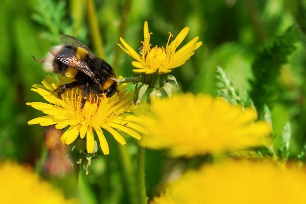 Fundo de florescência natural de dentes-de-leão e do zangão bonitos amarelos. Foto Premium