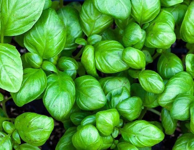 Fundo de folhas de manjericão de gênova. horticultura e cultivo, jardinagem primaveril. Foto Premium