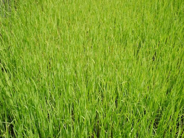 Fundo de natureza de campo de arroz orgânico Foto Premium