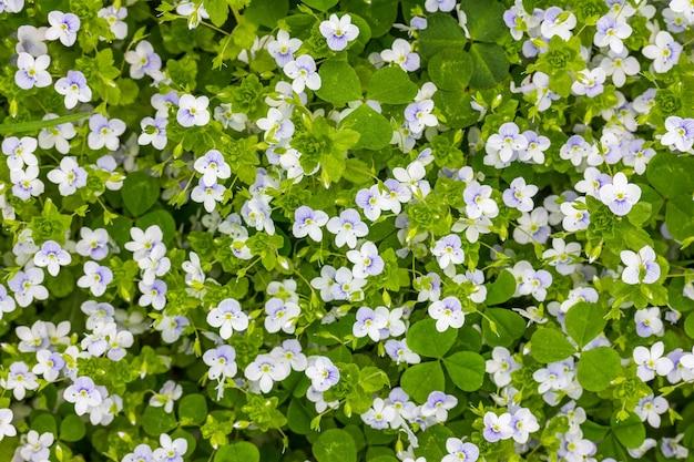 Fundo de primavera de pequenas flores azuis e brancas (veronica persica) em um prado verde, vista superior Foto Premium