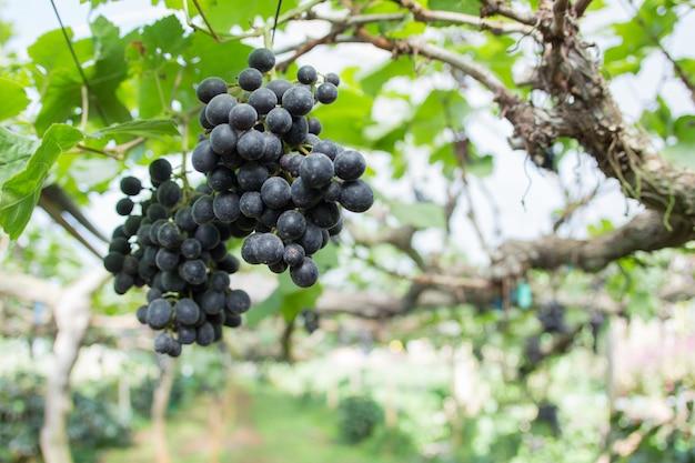Fundo desfocado de uva Foto Premium