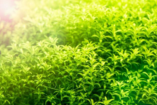 Fundo do aquário de água doce tropical verde bonito foco seletivo Foto Premium