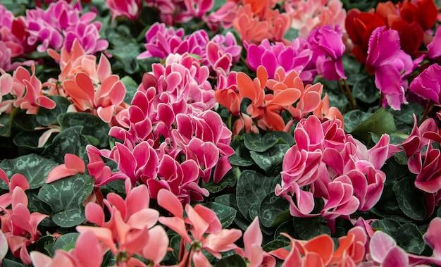 Fundo natural bonito com muitos ciclâmen. o conceito de um fundo natural de planta. cyclamen em uma panela, florescendo com flores coloridas grandes. Foto gratuita