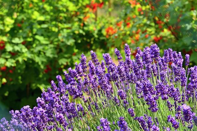 Fundo natural bonito em um jardim com uma flor de florescência da alfazema. Foto gratuita