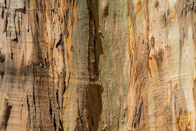Fundo natural da casca de goma de eucalipto. closeup de tronco. tenerife, ilhas canárias Foto gratuita
