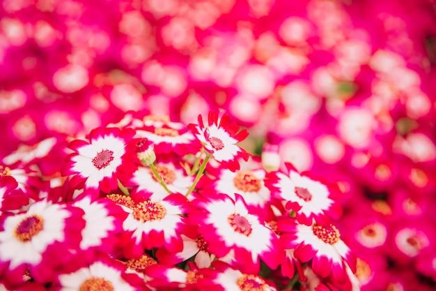 Fundo natural de flores rosa brilhante cineraria Foto gratuita