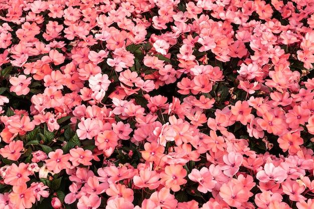 Fundo rosa walleriana de impatiens. flores da lizzie ocupada. pano de fundo floral Foto Premium