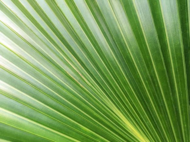 Fundo verde da natureza, folha grande da textura de uma palma tropical Foto Premium