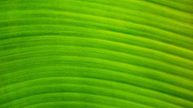 Fundo verde fresco da textura da folha da banana Foto Premium