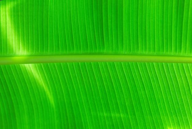 Fundo verde natural da folha da banana Foto Premium