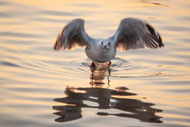 Gaivota que descola da água para voar com reflexão. Foto Premium