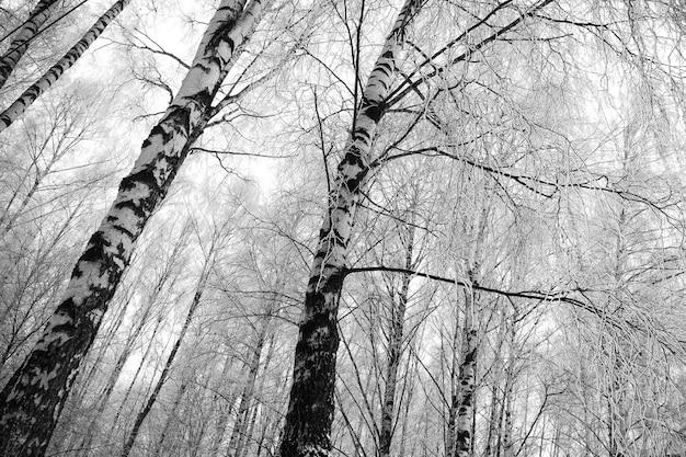 Galhos de árvore de vidoeiro congelado preto e branco Foto Premium
