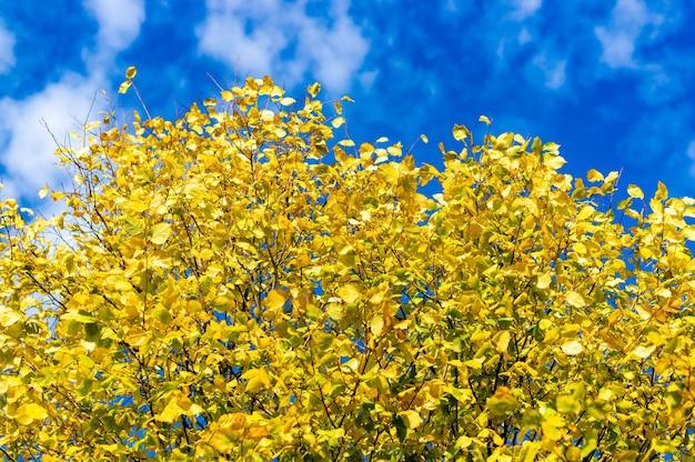 Galhos de árvores cheios de folhas amarelas no outono com o céu azul Foto gratuita