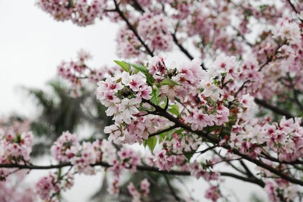 Galhos de árvores de flor de cerejeira close-up Foto gratuita