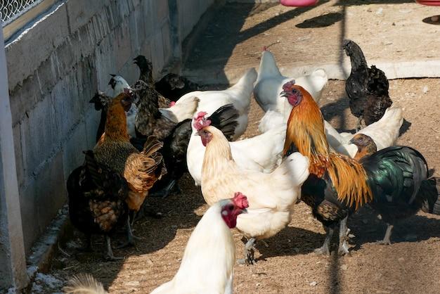 Galinha de galinha preta que tem penas ao longo de suas garras Foto Premium