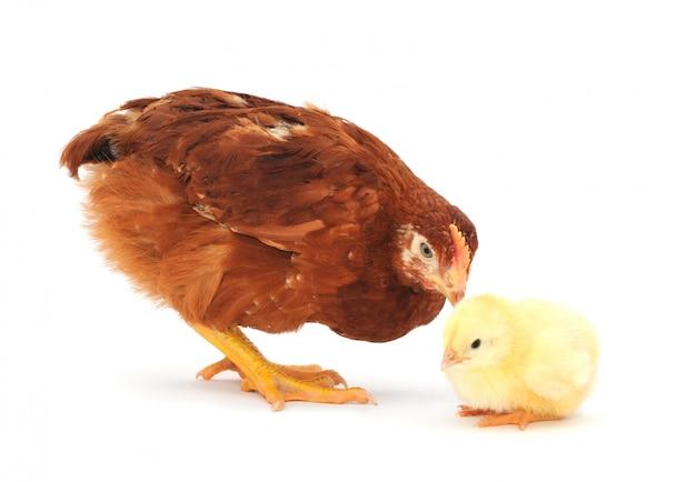 Galinha e galinha marrom Foto Premium