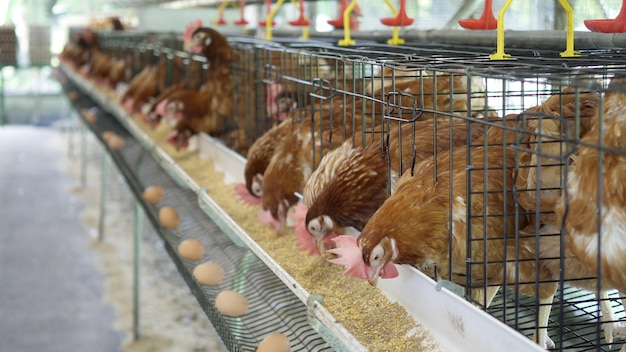 Galinha, ovos e galinhas da galinha que comem o alimento na exploração agrícola. Foto Premium