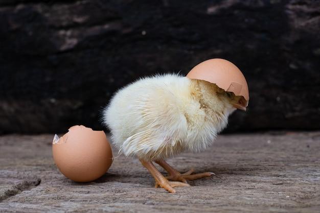 Galinha saindo de um ovo e casca de ovo em uma superfície de madeira velha Foto Premium