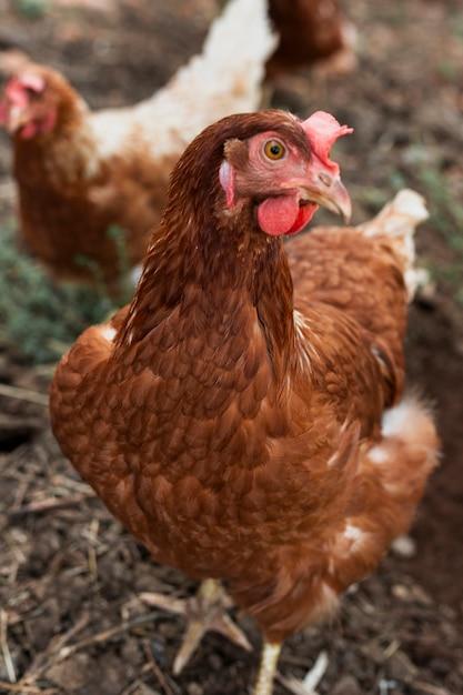 Galinhas à procura de comida no galinheiro Foto gratuita