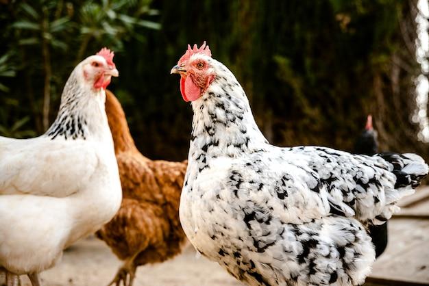Galinhas bicando no solo de uma fazenda ecológica para colocar ovos de javali. Foto Premium