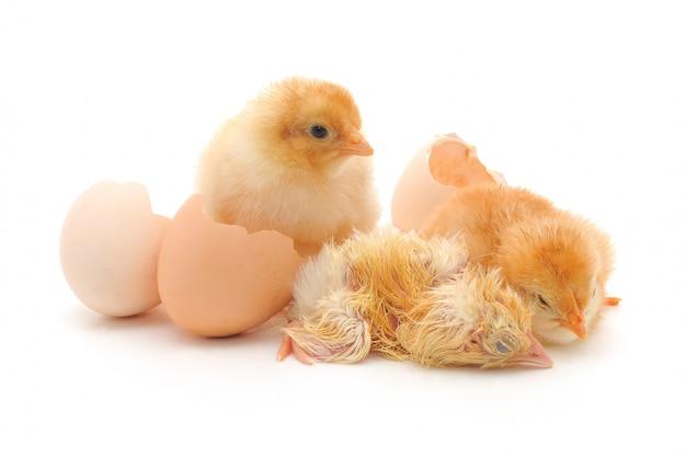 Galinhas e uma casca de ovos Foto Premium