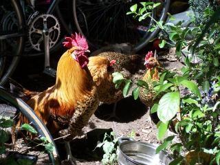 Galinhas, fazenda Foto gratuita