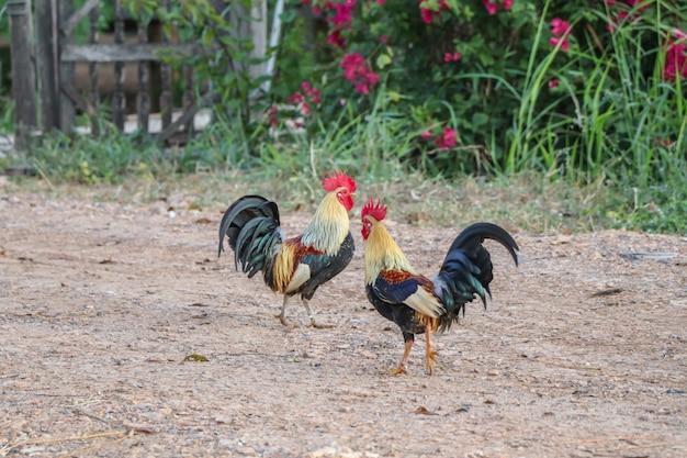 Galo andar no quintal da fazenda Foto Premium