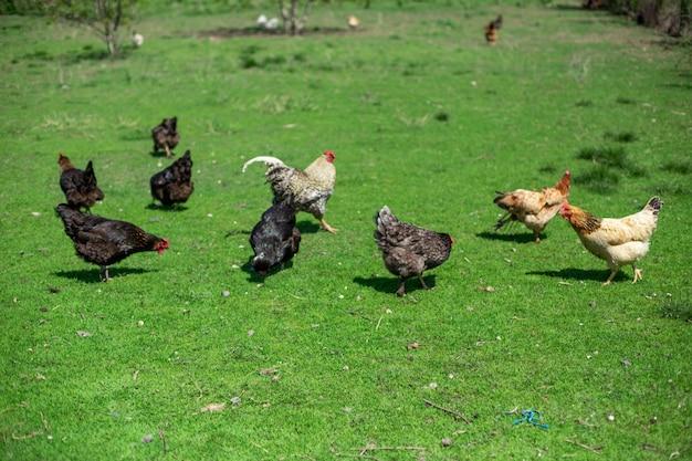 Galo e galinhas pastam na grama verde. gado na aldeia Foto Premium