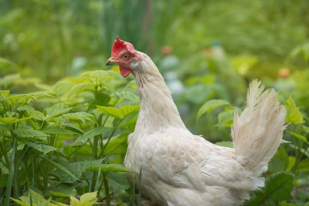 Galo na área externa de um galinheiro Foto Premium