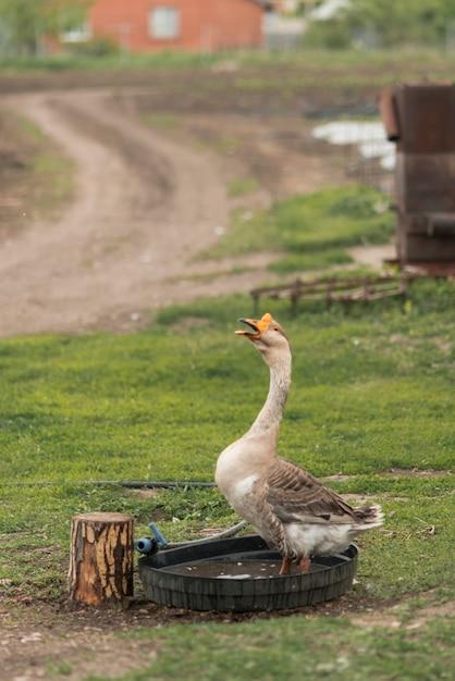 Ganso em uma fazenda ecológica Foto gratuita