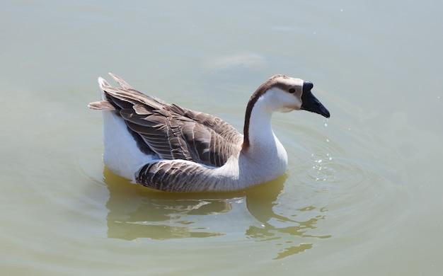Ganso nadando no lago Foto Premium