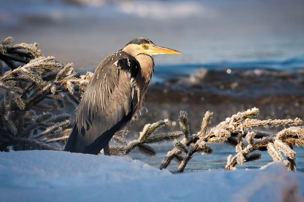 Garça cinzenta em pé perto do rio com água que flui ao nascer do sol Foto Premium