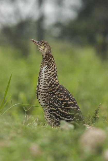 Garça-real pássaro em pé na grama com fundo desfocado Foto gratuita