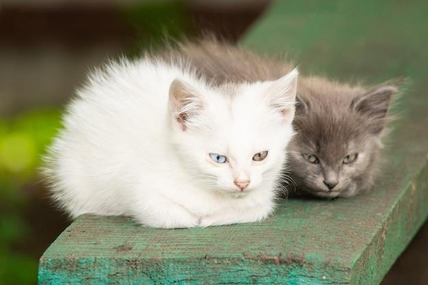 Gatinho branco com olhos diferentes Foto Premium