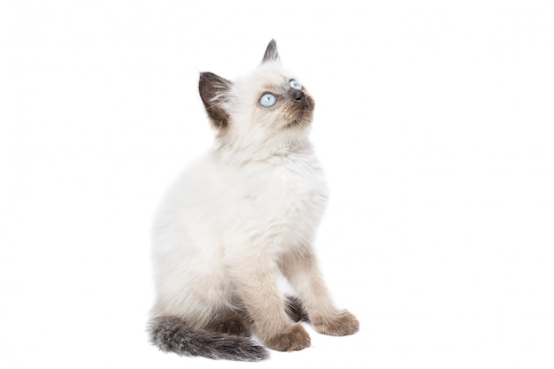 Gatinho branco Foto Premium
