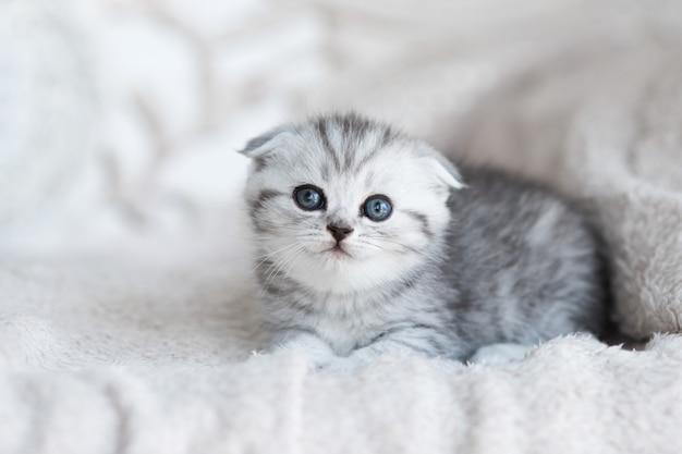 Gatinho cinzento pequeno com olhos azuis encontra-se no sofá cinzento Foto gratuita