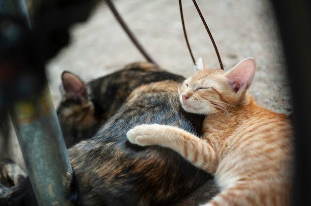 Gatinho dorme atrás de sua mãe Foto Premium