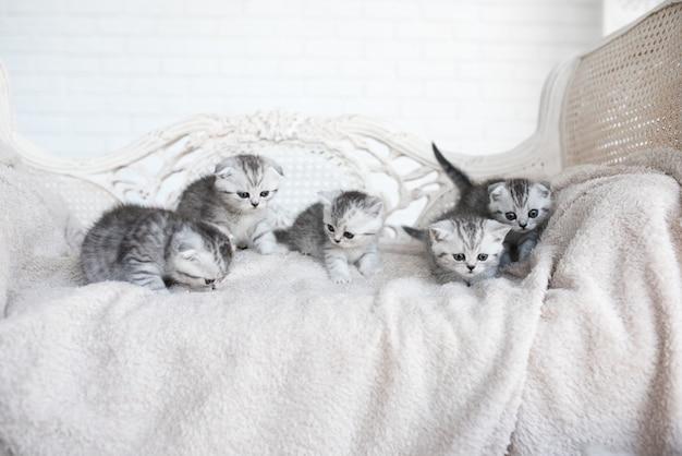 Gatinhos de pêlo curto americano brincam no sofá cinza Foto gratuita