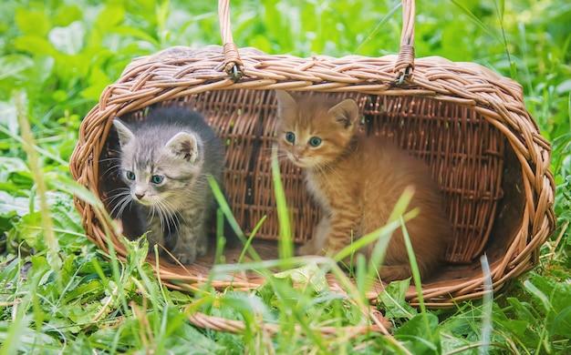 Gatinhos são cinza e vermelho Foto Premium