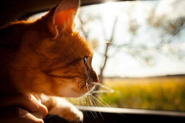 Gato adorável close-up, olhando no carro da janela Foto gratuita