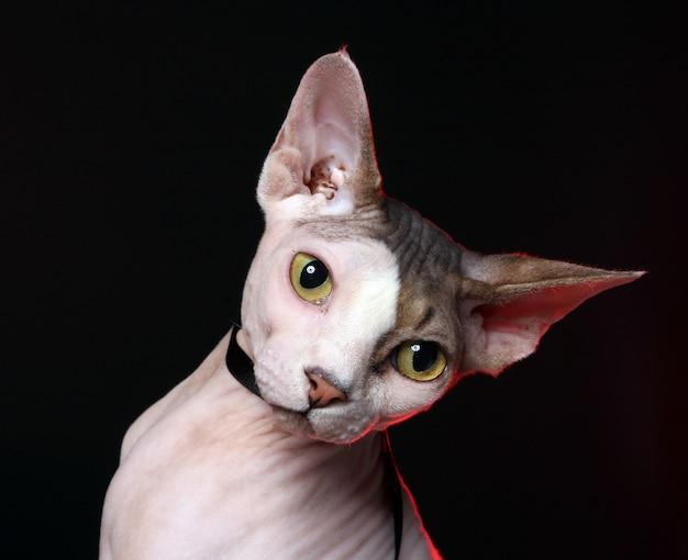 Gato adorável sem cabelo Foto gratuita
