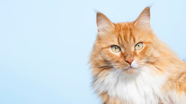 Gato amigável bonito olhando para a câmera Foto Premium