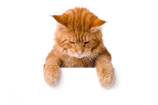 Gato bonito acima da bandeira branca Foto Premium