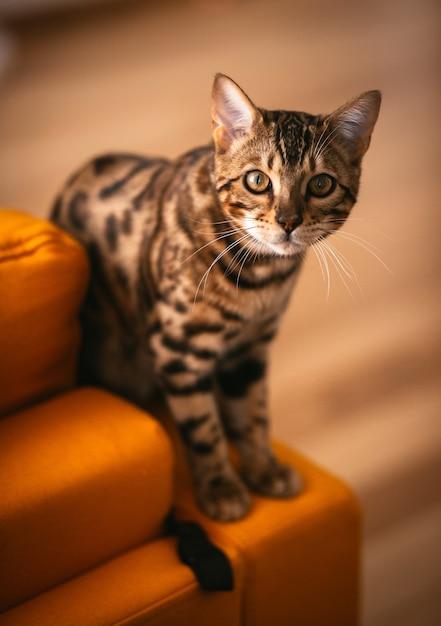 Gato bonito de bengala está no sofá amarelo Foto gratuita