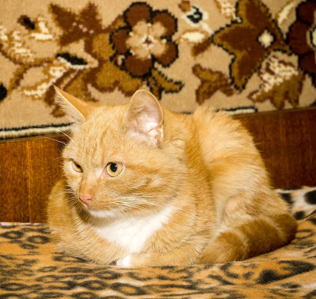 Gato bonito de gengibre Foto Premium