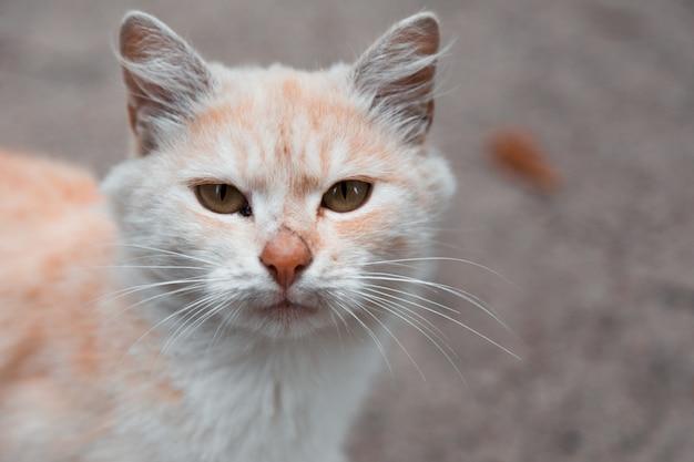 Gato branco e laranja, olhando para a câmera. Foto Premium