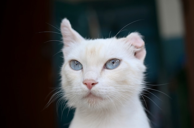 Gato branco puro com olhos azuis turquesas e orelhas com defeito rosa Foto Premium